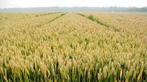 有机小麦大受市场青睐