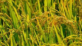 金山枫泾镇大力发展有机水稻种植 促进农民增产增收